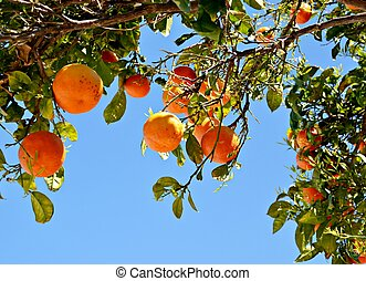 Branches of orange