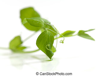 Branches of pea