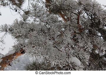 Branches of pine in frost