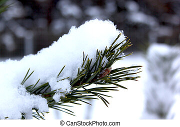 Branches of pine-tree covered with snow in beautiful winter forest.