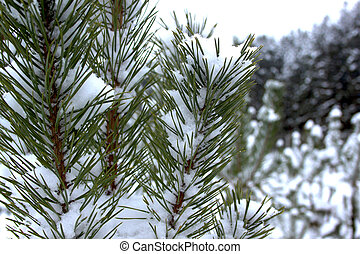 Branches of pine-tree under the snow in beautiful winter forest.