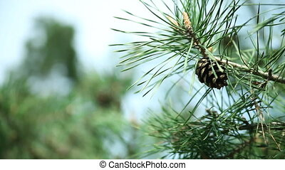 Branches of pine tree with pine cones