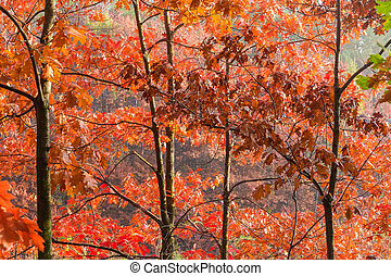 Branches of red oaks with autumn leaves against forest