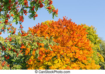Branches of rowan with berries against sky and autumn trees