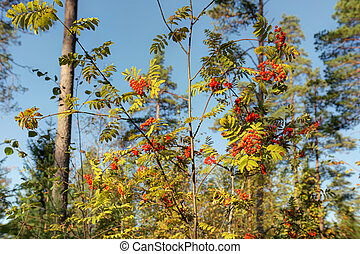 Branches of rowan with berries