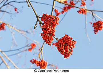Branches of rowan with bright red berries against the blue sky background