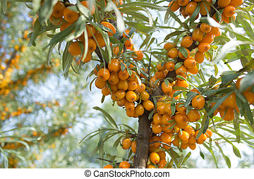 Branches of seabuckthorn_5