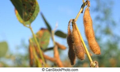 Branches of soybean under the blue sky, against the rays of the sun.