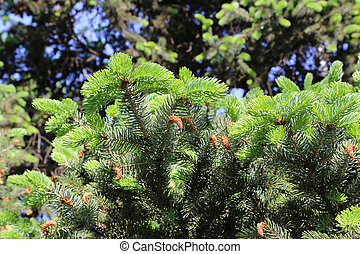 Branches of spring coniferous tree with fresh sprouts