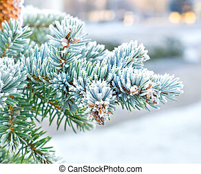 Branches of spruce is covered with frost