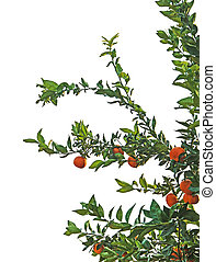 Branches of tangerine tree on white background