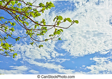 branches of Teak tree with sky background