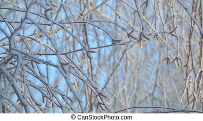 Branches of the birch are covered with hoarfrost. - The...