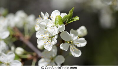 Branches of the blossoming apple-tree close up