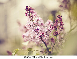 Branches of the blossoming lilac