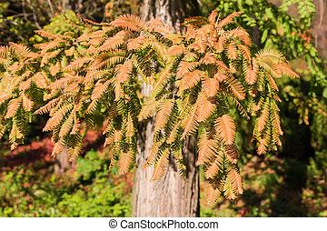 Branches of the dawn redwood with autumn leaves