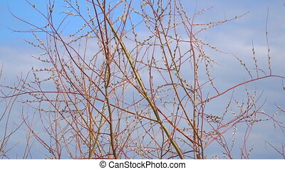 Branches of the pussy willow with fluffy buds - The branches...