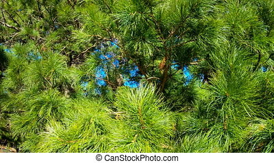 Branches of the Siberian pine cedar