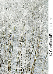 Branches of trees in hoarfrost, a close up