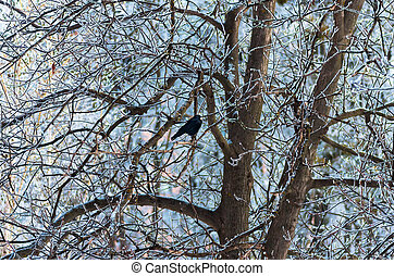 Branches of trees in hoarfrost, snow and raven