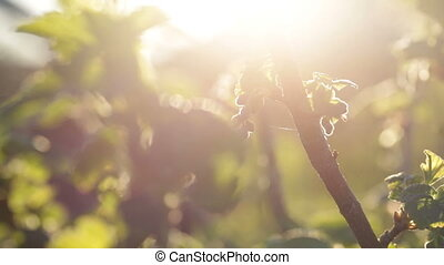 Branches of unripe currant against a sunlight.
