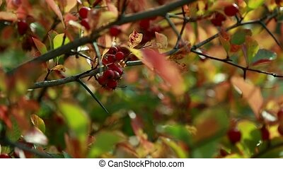 Branches of viburnum in late autumn