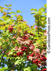 Branches of viburnum with red berries against the sky