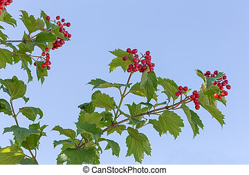 Branches of viburnum with ripe red berries against the sky