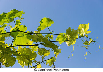 Branches of vine with young leaves against the clear sky