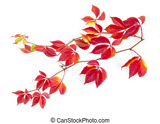 Branches of Virginia creeper with autumn leaves on white background