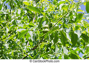 Branches of walnut tree with unripe fruits against sky