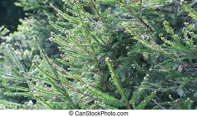 Branches of young fir in backlight - Branches of young fir...