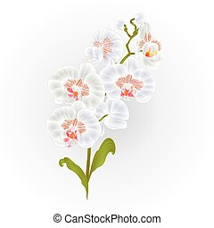 Branches orchid Phalaenopsis White flowers tropical plants green stem and buds and leaves  vintage vector.eps