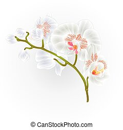 Branches orchid Phalaenopsis White flowers tropical plants green stem and buds  vintage hand draw vector.eps