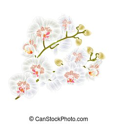 Branches orchid Phalaenopsis White flowers tropical plants  stem and buds  vintage vector.eps