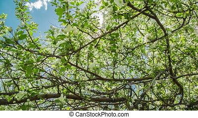branches, pomme, glisseur, fleur, soleil, -, arbre, cru, par, chariot, coup, briller