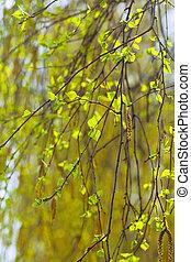 branches, printemps, bouleau