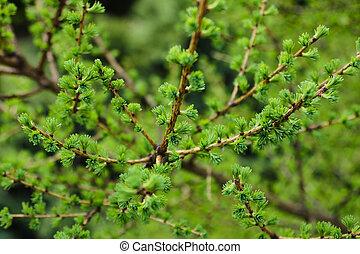 branches, printemps, genièvre, jeune, arrière-plan., vert