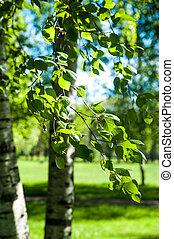 branches, printemps, jeune, lumière soleil, arrière-plan., vert, bouleau