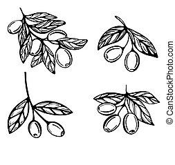branches, style, griffonnage, illustration, vecteur, olives, arrière-plan., hand-drawn, isolé, blanc