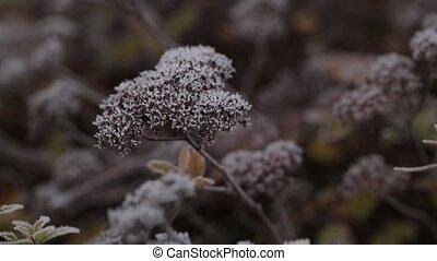 branches, surgelé, sommets, feuilles, arbre, neige, pin, ensoleillé, mensonges, mangé, blanc, jour, rouges