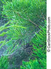 branches., web., araignés, pin, toile araignée, branche