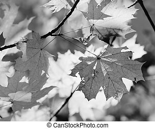 Branches with autumn sunlit maple leaves in forest