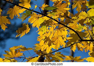 Branches with autumn yellowed sunlight maple leaves
