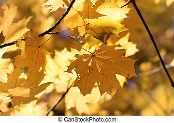 Branches with autumn yellowed sunlit maple leaves in forest