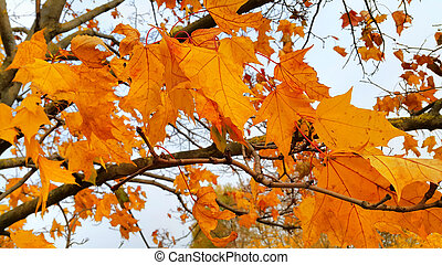 Branches with bright leaves of autumn maple tree