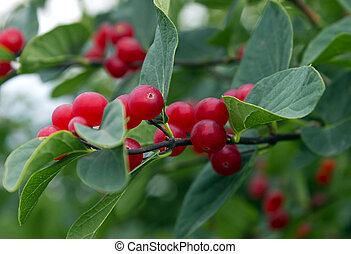 Branches with bright red berries
