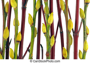 Red and green branches of a willow with yellow buds. Isolated on the white.