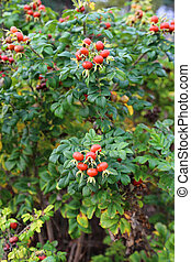 Branches with  dog rose fruits