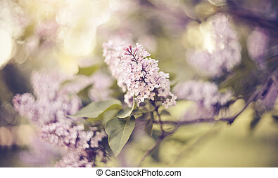 Branches with flowers on bushes of the blossoming lilac.